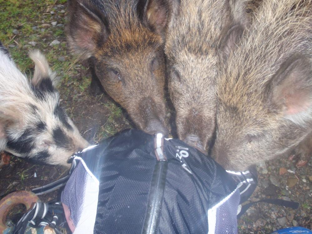 Fannich pigs